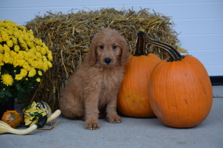 Goldendoodle Puppy For Sale in FREDERICKSBURG, OH
