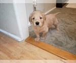 Small #56 Labradoodle