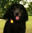 AKC Standard Poodle Puppies  Your  BFFL