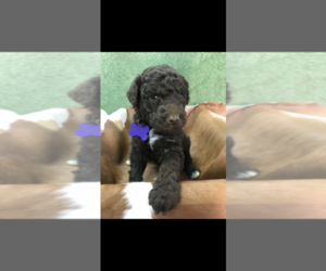 Poodle (Standard) Puppy for sale in TRENTON, GA, USA