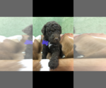 Image preview for Ad Listing. Nickname: Female poodle