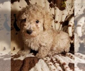 Poodle (Toy) Puppy for sale in COLUMBUS, OH, USA
