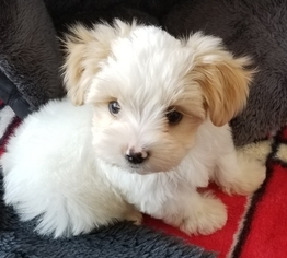 Morkie Puppy for sale in SARASOTA, FL, USA