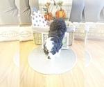 Small #3 Miniature Bernedoodle