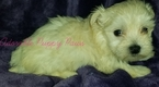 Morkie Puppy For Sale in ANDERSON, AL, USA