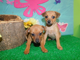 American Rat Pinscher Puppy For Sale in HAMMOND, IN, USA