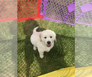 English Cream Golden Retriever Puppy for sale in NEW GLOUCESTER, ME, USA