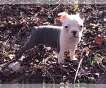 Small #13 Boston Terrier