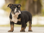 English Bulldogge Puppy For Sale in FORT PIERCE, Florida,