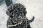 Goldendoodle Puppy For Sale in HUDSONVILLE, MI, USA