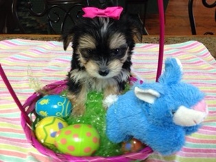 Morkie Puppy For Sale in DENHAM SPRINGS, LA