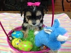 Morkie Girls Crazy Cute Ready Now