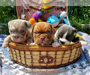 English Bulldog Puppy for sale in PASCO, WA, USA
