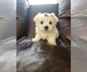 Maltese Puppy for sale in OPELIKA, AL, USA