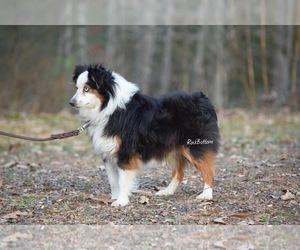 Miniature Australian Shepherd Puppy for Sale in MORRILTON, Arkansas USA