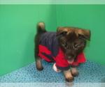 Puppy 3 Norwegian Elkhound