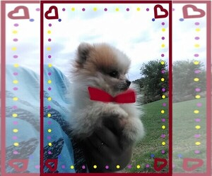 Pomeranian Puppy for sale in WINCHESTER, OH, USA