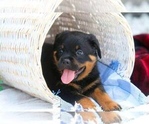 Rottweiler Puppy for Sale in MILFORD, Ohio USA
