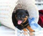 Rottweiler Puppy For Sale in MILFORD, OH, USA