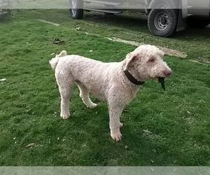 Goldendoodle Puppy for Sale in MAYWOOD PARK, Oregon USA