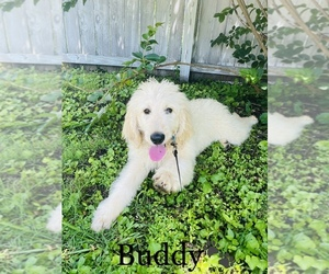 Poodle (Standard)-Saint Berdoodle Mix Dog for Adoption in COOKEVILLE, Tennessee USA