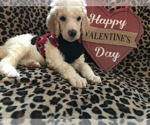 Poodle (Standard) Puppy for sale in INDEPENDENCE, KS, USA