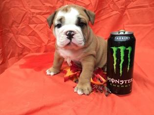 Bulldog Puppy For Sale in DENVER, PA