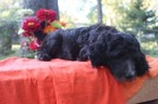 Goldendoodle Puppy For Sale in BALDWIN CITY, KS