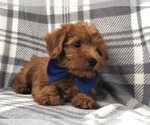Small Photo #9 Shih Tzu-Yorkie-Poo Mix Puppy For Sale in LAKELAND, FL, USA