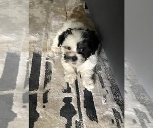 Zuchon Puppy for sale in ATL, GA, USA