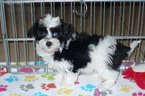 Havanese Puppy For Sale in TUCSON, Arizona,