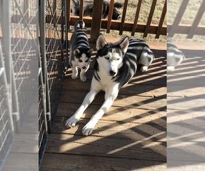 Siberian Husky Dog for Adoption in JOPLIN, Missouri USA