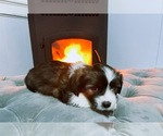 Puppy 2 Jack Russell Terrier-Shih Tzu Mix