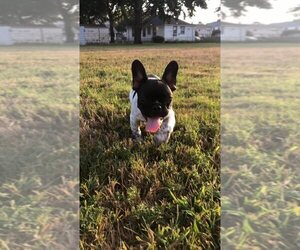 French Bulldog Puppy for Sale in PROVIDENCE, Rhode Island USA