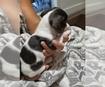 Small Photo #1 Dachshund Puppy For Sale in SPRING HOPE, NC, USA