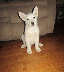 German Shepherd Dog Puppy For Sale in PLATTEVILLE, CO, USA
