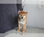Small Photo #4 Shiba Inu Puppy For Sale in SEATTLE, WA, USA
