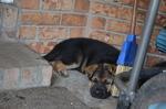 Puppy 4 King Shepherd