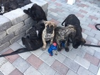 Presa Canario Puppy For Sale in FALLBROOK, CA, USA