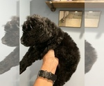 Small Photo #11 Poodle (Standard) Puppy For Sale in TAMPA, FL, USA