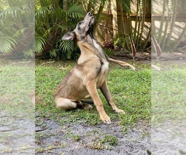 Medium Photo #4 Belgian Malinois Puppy For Sale in MELBOURNE, FL, USA