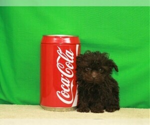 Poodle (Toy) Puppy for sale in SHAWNEE, OK, USA