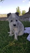 Australian Cattle Dog Puppy For Sale in DELTA, CO,