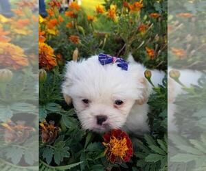 Shih Tzu Puppy for sale in DELTA, CO, USA