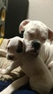 Boxer Puppy For Sale in ARLINGTON, WA,