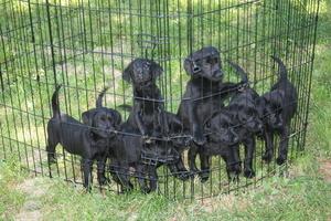 Labrador Retriever Puppy For Sale in BEVERLY, NJ