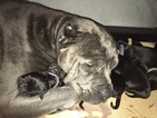 Cane Corso Puppy For Sale in MEDFORD, OR, USA