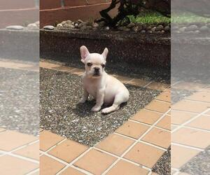 French Bulldog Puppy for sale in BOSTON, MA, USA