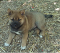 Shiba Inu Puppy For Sale in EMERSON, NJ, USA
