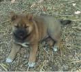 Shiba Inu Puppy For Sale in EMERSON, NJ, USA